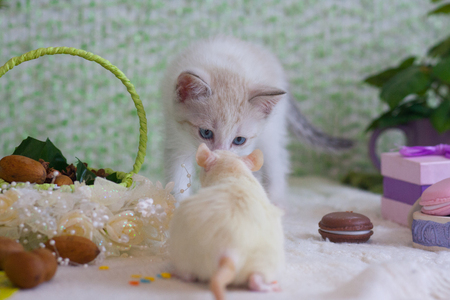 Friendship concept. The kitten sniffs the mouse. Rat and cat play.