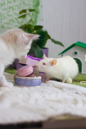White rat sniffs food. The kitten looks at the mouse. Rodent and predator