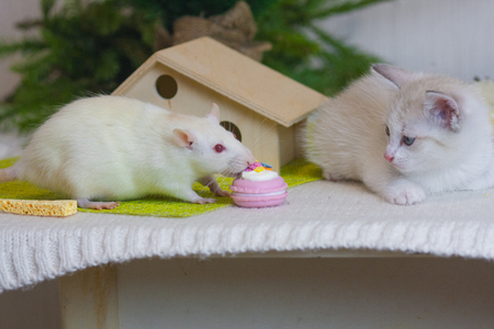 The cat looks at the eating mouse. The rat eats cake. White kitten watching a rodent. 写真素材