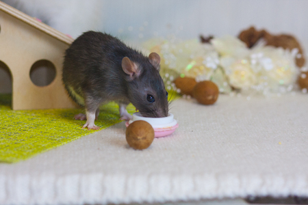 The rat eats nuts. Gray mouse gnaws food. Decorative rodent on the background of decorations.