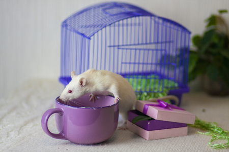 The concept of the tea party. Mouse with a large mug. White rat drinking tea. The animal with the dishes. Imagens