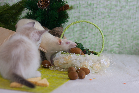 A rat is stealing a nut. The kitten looks at the mouse. Rodent and predator.