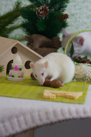 White rat with nuts. The mouse nibbles the food. Rodent eats. Decorative animal on the background of ornaments.