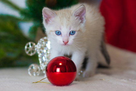 A small kitten with a Christmas toy. Cat on Christmas tree. Christmas animals. Cat symbol of the new year. 写真素材