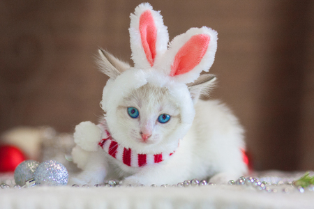 The cat in rabbit ears. A kitten in a rabbit costume. Christmas animals. Cute kitten with Christmas toys.