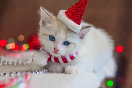 Cat in a Christmas cap. Kitten in a Santa suit. Festive animal on the background of the Christmas tree. Cat close-up.