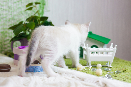 The concept of curiosity. A small kitten shows curiosity. White cat watching.