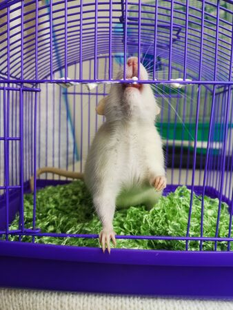 The concept of thirst for freedom. A rat gnaws the cage. The mouse is trying to get out of the cage. Decorative Pets.