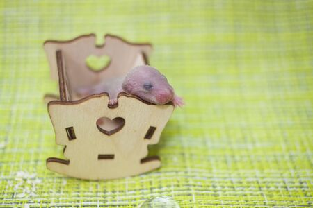 The concept of baby sleep. A rat cub sleeps in a cot. The mouse child had not yet opened his eyes. Newborn rodent. 写真素材