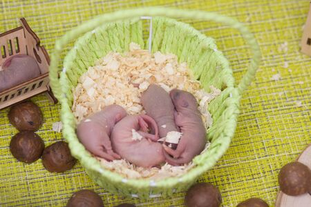 The concept of the family of mice. Little newborn rats sleep in a basket. A lot of young rodents.