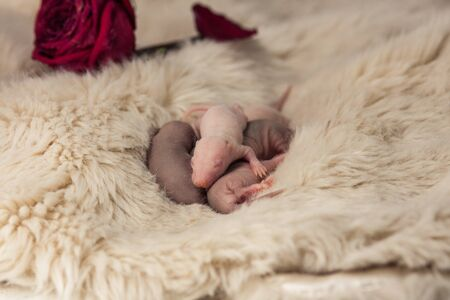 Newborn baby rats close-up. Mouse the kids are asleep. Little blind rodents. Decorative animals. Stok Fotoğraf