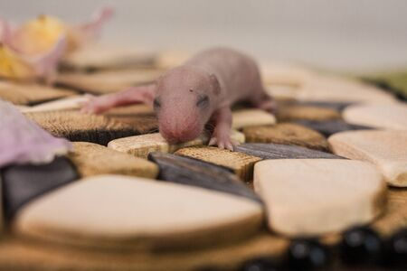 The concept of blindness. The rat cub hadn't opened his eyes yet. Little mouse baby. Newborn rodent.