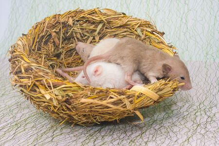 The concept of the family nest. Newborn mice lie in the nest. Small children rats closeup.