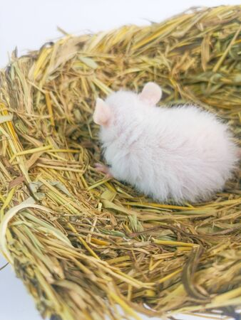 A decorative mouse sits in the nest. White rat sleeps in a cozy perch. Pets close up.