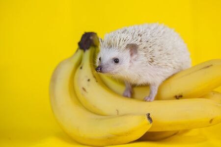 The concept of proper nutrition. Hedgehog sitting on bananas. Cute hedgehog with fruit.