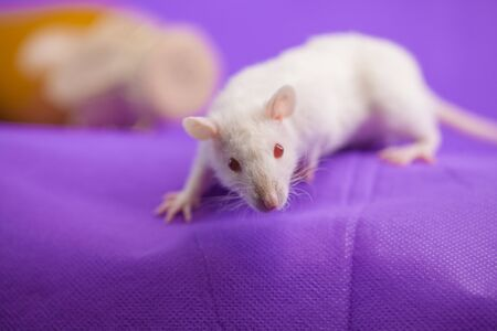 White mouse close up. Beautiful snow-white rat. Decorative pets.