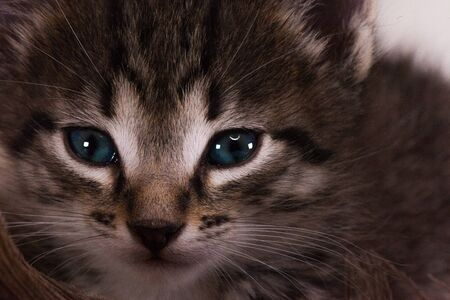 Muzzle striped cat close-up. The face of a cat with blue eyes. Beautiful kitten looking to the camera.