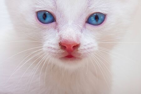Muzzle white kitten close-up. The face of a cat with blue eyes. Beautiful cat looking at the camera.