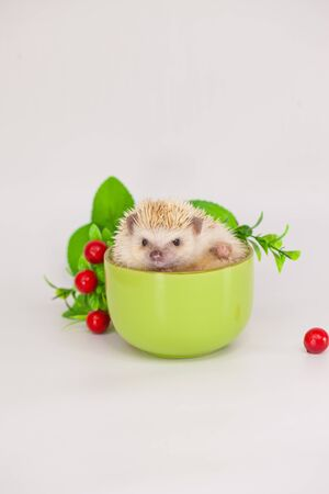 A cute hedgehog sits in a green glass. Decorative pets close up. Prickly animals. Banco de Imagens