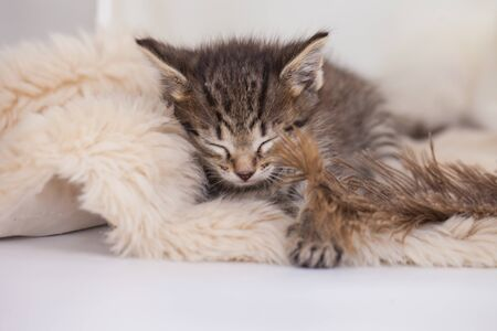 Cute kitten sleeping on a fluffy rug. Home comfort. Domestic pets close-up. Banco de Imagens