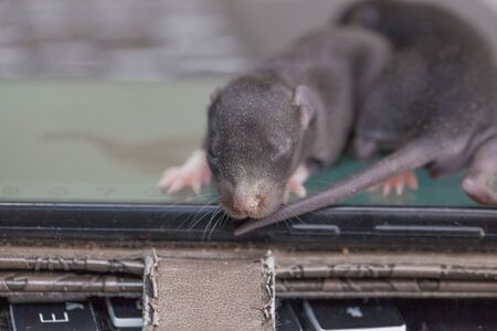 Little newborn black rat close-up. Mouse cub with eyes closed. Decorative pets.