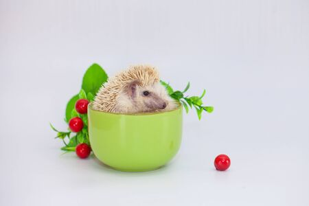 The concept of coffee pause. Hedgehog sitting in a green coffee mug. Decorative home rodents close-up. Banco de Imagens