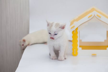 Close-up domestic animals. White kitten with a white rat on the background of a yellow house. Friendship between a cat and a mouse.