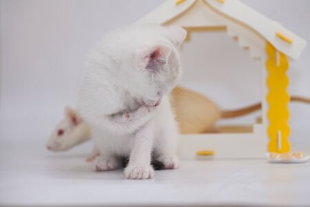 Kitten plays with a rat. White cat playing with a white rat on the background of a yellow house. Decorative pets close up.