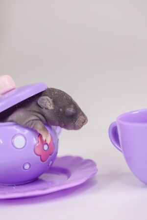 The little mouse is sitting in a childrens toy kettle. Newborn rat close-up. Home decorative rodents.