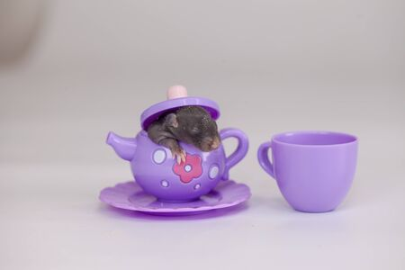 The concept of small size. A small newborn rat sits in a toy teapot. Decorative mouse close up.