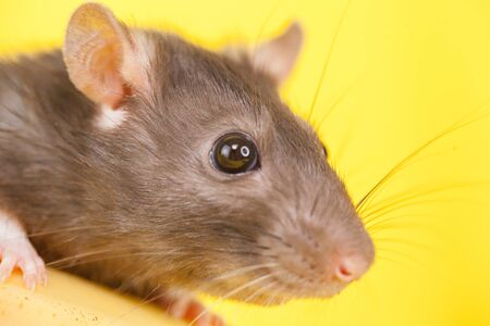 Muzzle of a gray rat on a yellow background close-up. The mouse is looking at the camera. Homemade decorative pets. Фото со стока