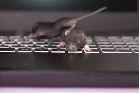 Little newborn rats. Blind mice. Decorative home rodents close-up.