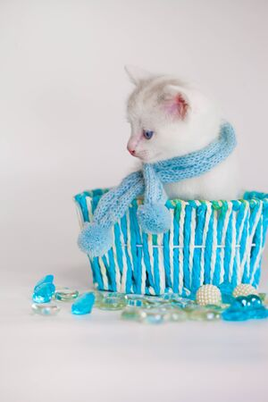 A white cat in a blue scarf sits in a basket. Cute little home kitten. Fluffy pets close-up.