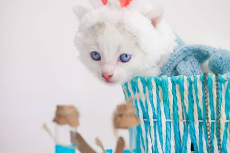 A cat in bunny ears. A kitten in a rabbit costume is sitting in a blue basket. Cute pets.