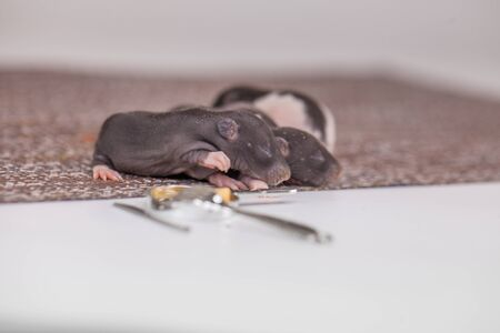 The concept of helplessness. Newborn mice are sleeping. Cubs rats close-up.