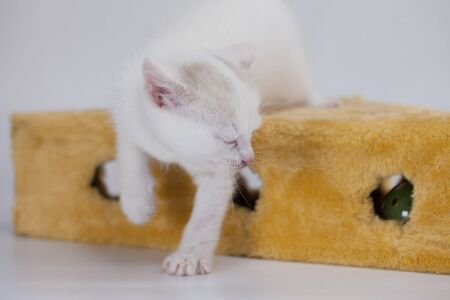 Little white kitten close-up. Pets. Snow white kitten. Decorative pets.