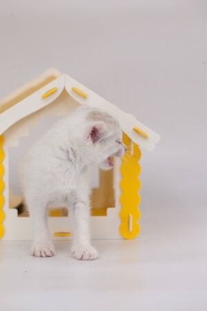 White kitten is angry. The cat is meowing. Pets close up. Kitten sitting in a yellow house.