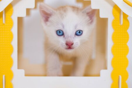 White cat sits in a small yellow house. Pets. Muzzle beautiful kitten close-up.