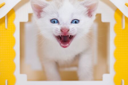 Muzzle meowing cat close-up. White kitten in a yellow house. The cat meows. Pets cute animals.