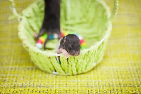 A small newborn rat sits in a basket. Baby cub close up. Home decorative pets. Фото со стока