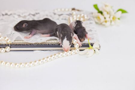 The concept of birth. Young rats close up. Newborn mice are sleeping. Фото со стока
