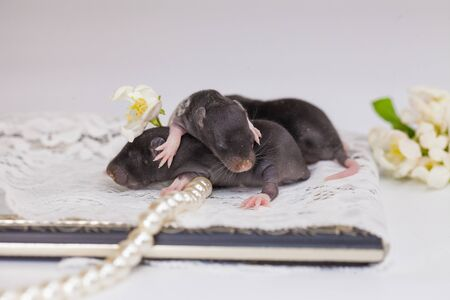 The concept of defenselessness. Newborn rats close up. The mice are sleeping. Decorative rodents.