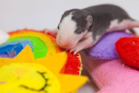 The concept of childhood dreams. A newborn mouse sleeps sweetly on a toy. Mouse cub close-up.