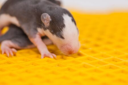 The concept of blindness. Blind newborn rat. The little mouse has not opened its eyes. Imagens