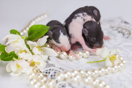 Rats on the background of jewelry. Mice with pearls. Rodents with beautiful decorations.