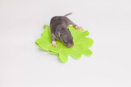 The concept of tinyness. A newborn little mouse lies on a leaf. Tiny rat close-up.
