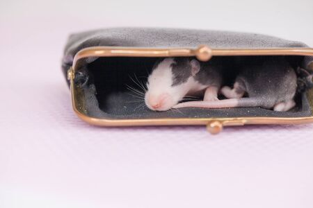 he concept of poverty. The rat is sitting in the wallet. Mouse and empty wallet. Фото со стока