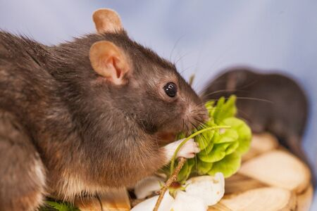Rat close-up. The mouse eats a branch. Decorative rodents. Pets. Фото со стока