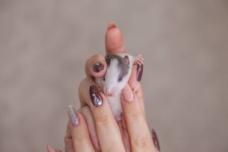The concept of manicure. A girl with a beautiful manicure holds a rat in her hands. Little mouse in female hands.