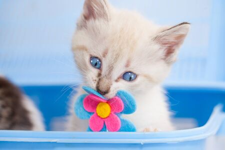 Beautiful white kitten close-up. The cat is sitting in a blue box with a flower. Domestic cat.